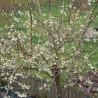 Photo: Chèvrefeuille arbustif 'Winter Beauty', Chèvrefeuille d'hiver parfumé