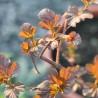 Photo: Physocarpe à feuilles d'Obier 'Amber Jubilee'